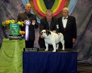 Prize Winning English Bulldog