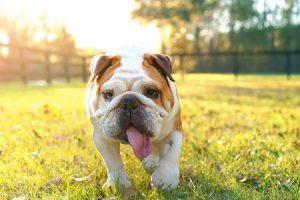 English Bulldog Exercise