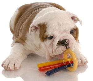 Bulldog With Chew Toy