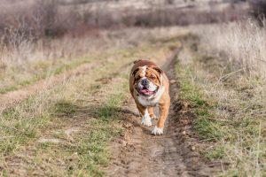 English Bulldog from Cedar Lane Bulldogs