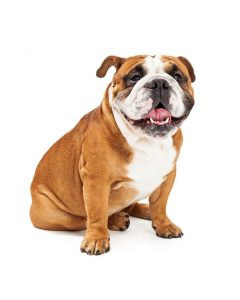 English bulldog and dental health