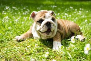 Bulldog puppy laying in grass