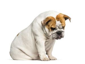 Bulldog sitting on floor