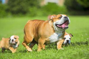 English Bulldogs and puppies